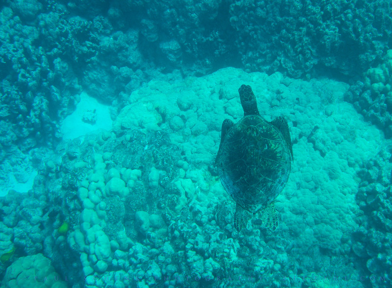 Green Sea Turtle, Chelonia mydas, Honu