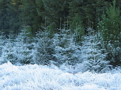 Frosty Trees in West Lothian