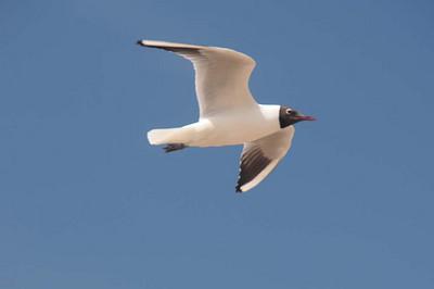 Seagull at Ipswich