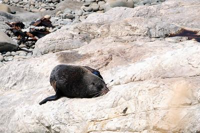 Fur Seals