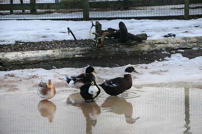 Ducks at Muiravonside Country Park