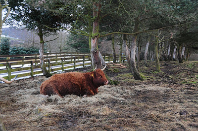 Highland Cattkle at Muiravonside Country Park