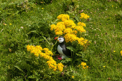 This is the nearest I got to Photographing a Puffin