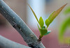 "Shapes - ""Sprung Spring"" - A newly-sprouted branch."