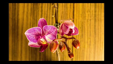 Orchid Bloom
