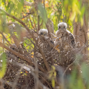 Three Cooper's Hawk chicks