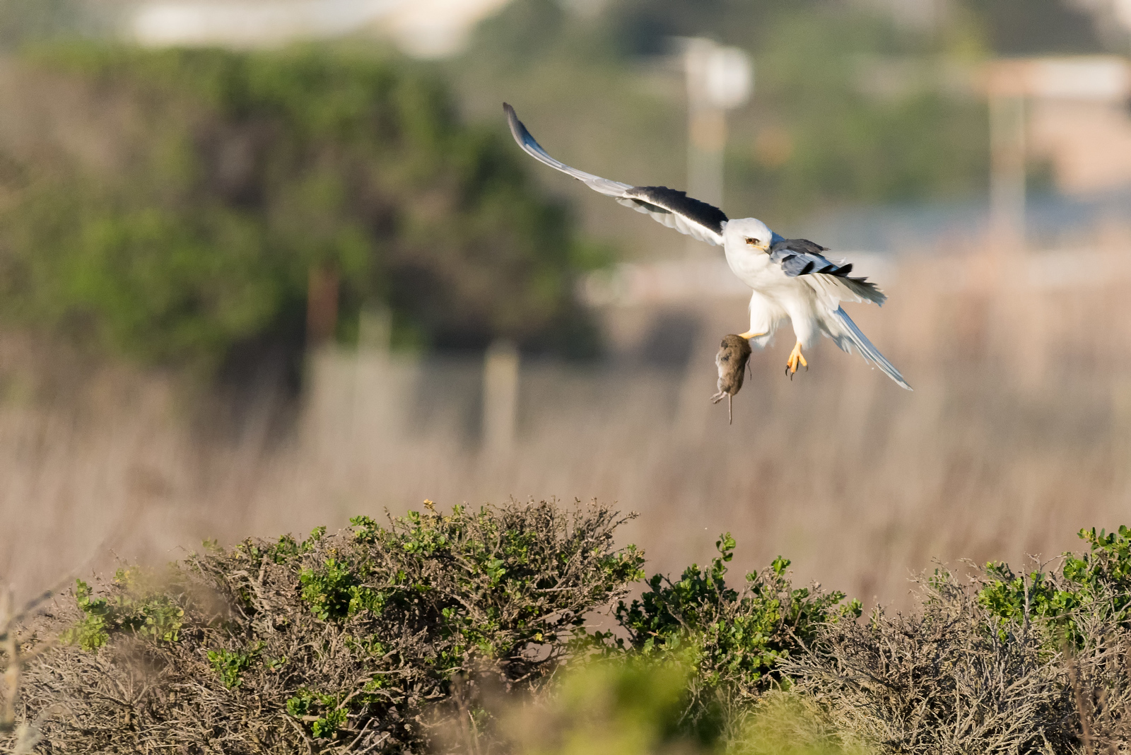 White-Tailed Kite with meal