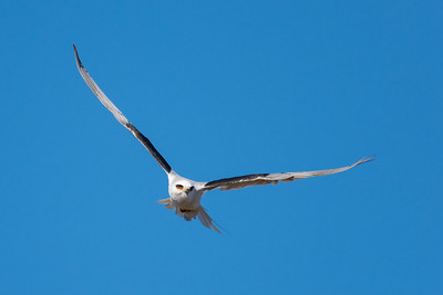 White-Tailed Kite in flight