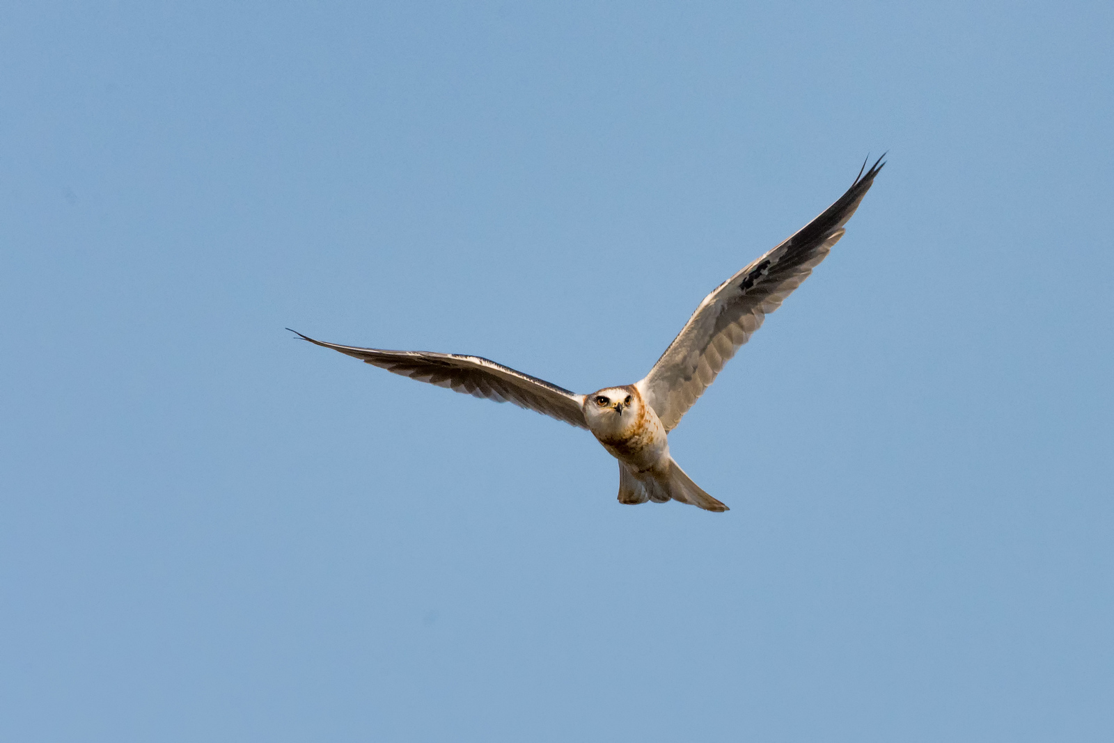 Juvenile White-Tailed Kite