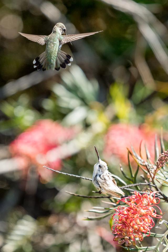 Leucistic and Anna's Hummingbirds