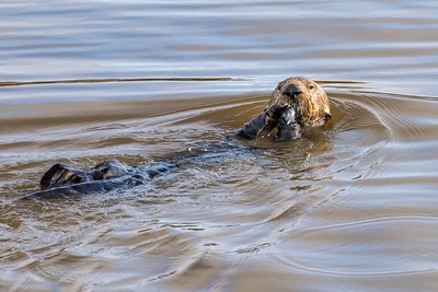 Otter eating clam