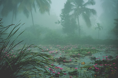 Mist and Goa's pink water lilies