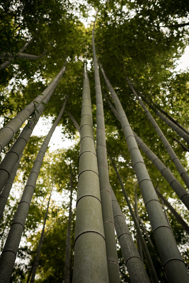 Tall Japanese bamboo forest