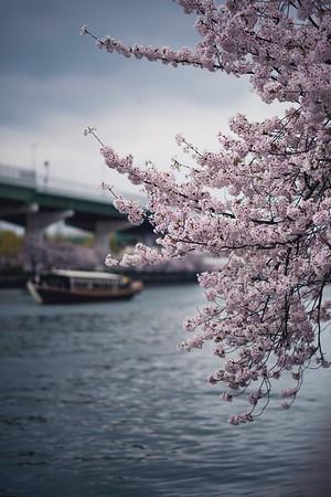 In and around Osaka Sakura in Japan (桜 or 櫻; さくら)