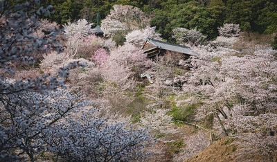 Cherry Blossom, Sakura (桜 or 櫻; さくら) at Yoshinoyama Mountain