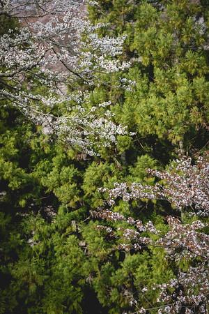 Cherry Blossom, Sakura (桜 or 櫻; さくら) at Yoshinoyama Mountain