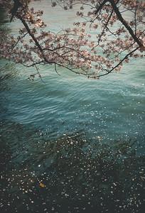 Sakura blossom 桜 or 櫻; さくら