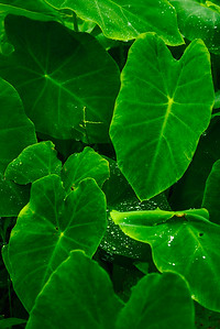 Monsoon Leaf