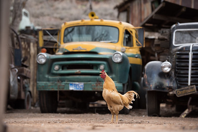 Why did the rooster cross the road?