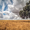 Holm oak on a mature wheat field on a windy day, Huevar del Aljarafe, Seville, Spain. Long exposure shot.