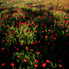 Meadow plenty of poppies, province of Seville, Andalusia, Spain