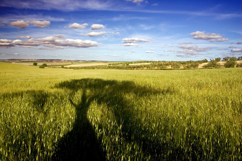 The shadow of a tree on a wheat field