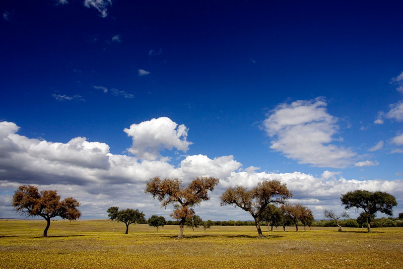 Holm oaks, Andalusia, Spain