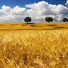 Andalusian wheat fields