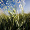 Wheat spikes, Andalusia, Spain