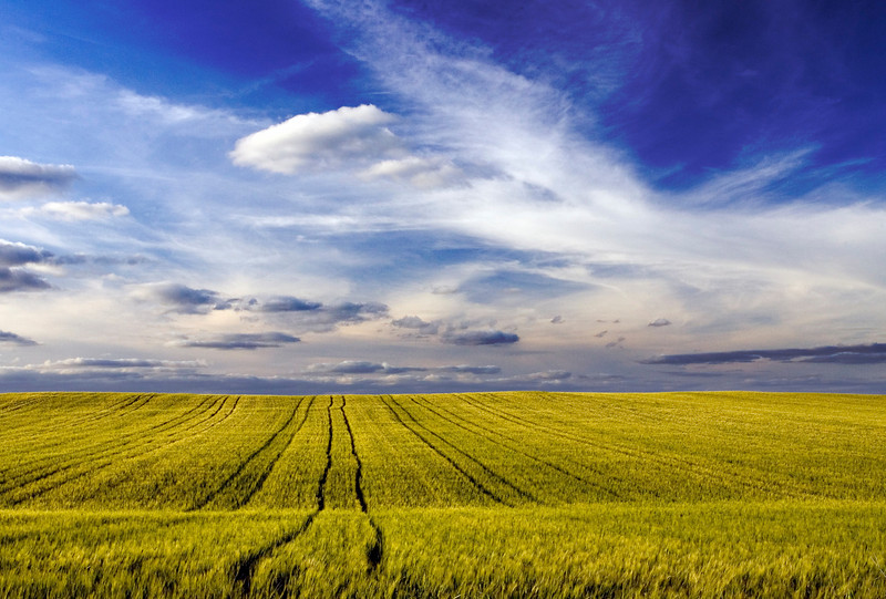 Wheat field, Andalusia, Spain