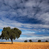 Holm oaks on a harvested wheat field, Spain
