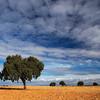 Holm oaks on a harvested wheat field, Spain