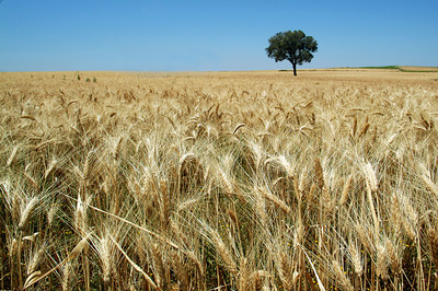 Lonesome tree on a wheat field, Spain