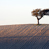Holm oak on the top of a wheat field, Andalusia, Spain