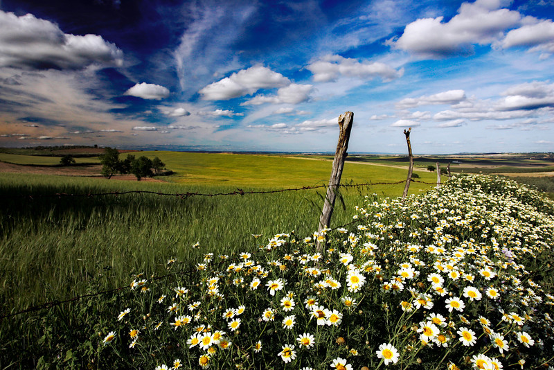 Daisies and wheat field, Andalusia