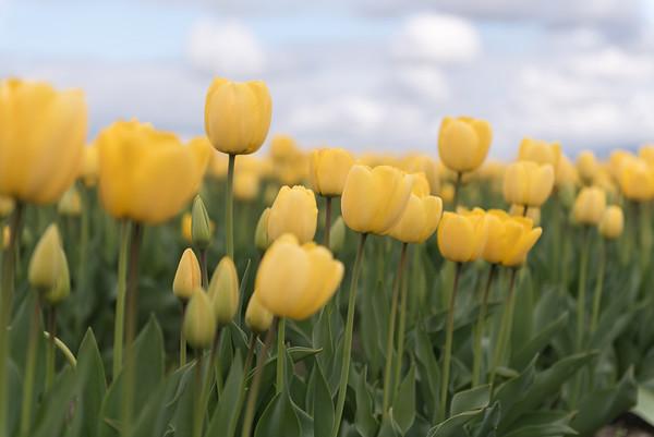 Tulips (Courtesy of Washington Bulb Co.)