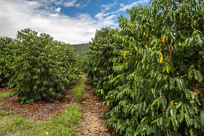 Aikane Coffee Plantation in Hawaii