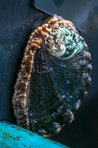 Big Island Abalone Corporation in Hawaii