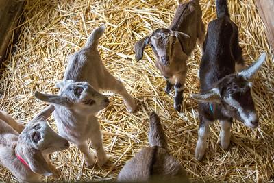 Hawaii Island Goat Dairy in Hawaii
