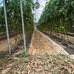 WOW Tomato Farms in Hawaii