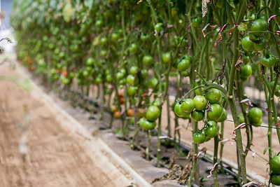 WOW Tomato Farms in Hawaii