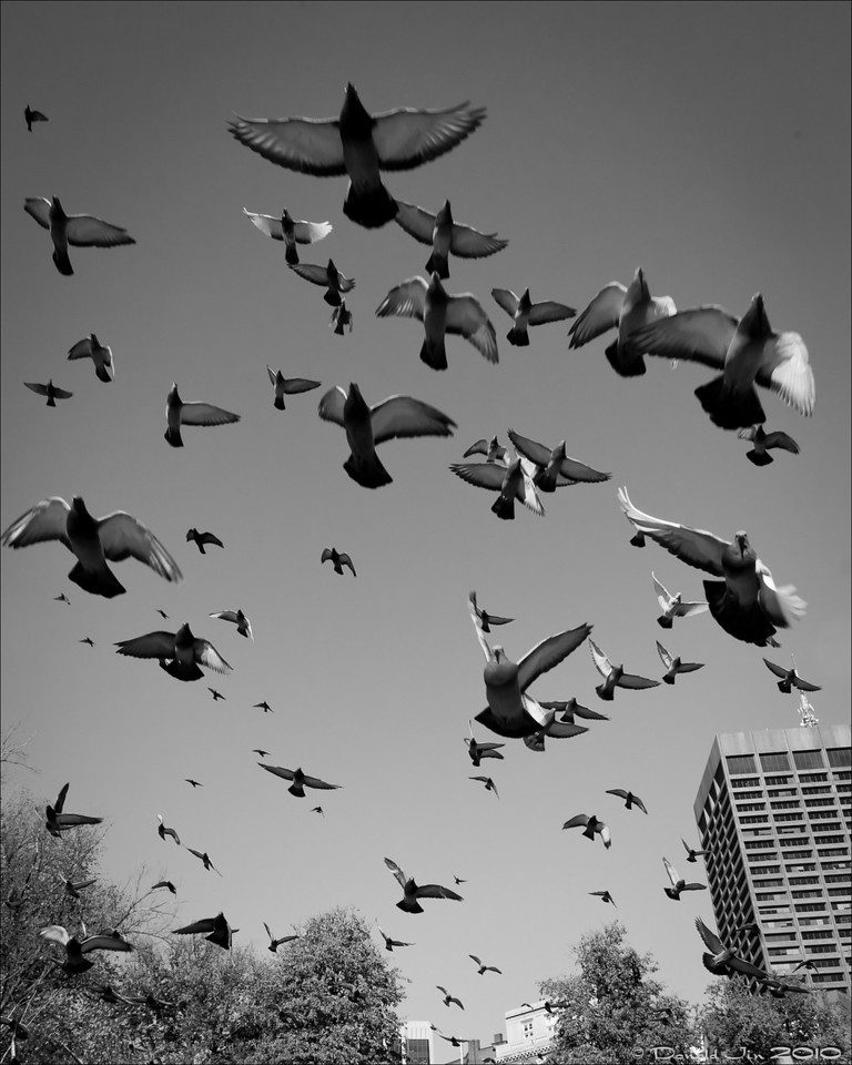 Day 101: Poetry in Motion<br /> Pigeons aren't the prettiest or the cleanest among birds but they looked pretty cool here flying over my head.  I was quick enough to catch them in mid flight and not a single drop landed on my lens.