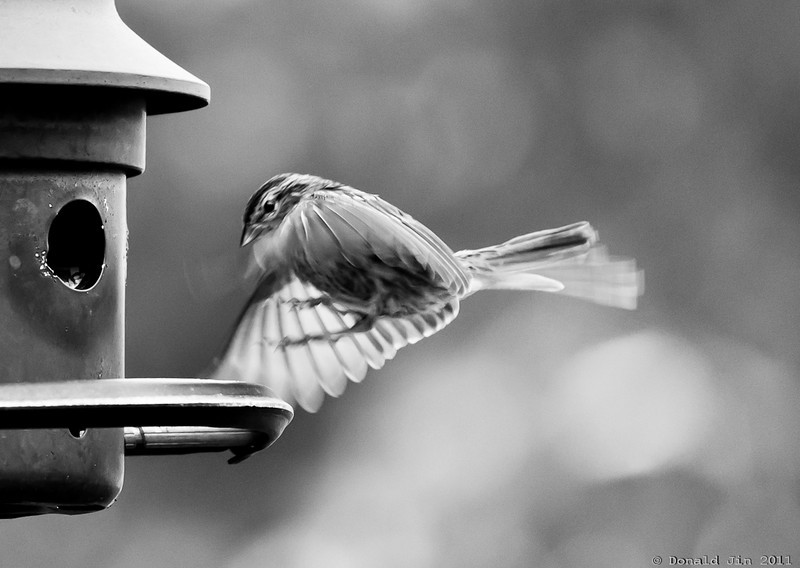 Day 359: The Elusive Landing<br /> Though we have birds flying around and feeding at our bird feeder all day long, to actually photograph one in perfect motion is extremely difficult and time consuming.  I sat out on my deck for an hour and took almost 200 exposures and ended up with about 4 frames that was usable.