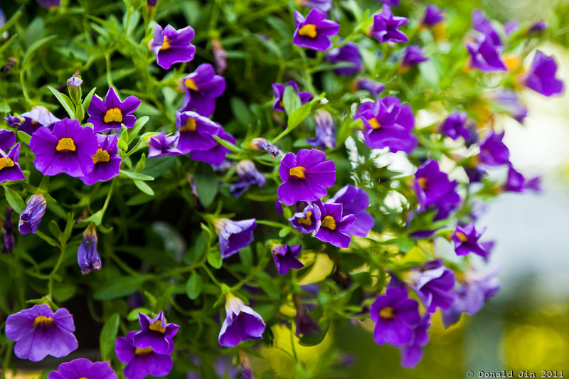Day 338: Million Bells<br /> Purple Million Bells hanging off the side of our garage.  I like the intense purple color of these flowers with spots of yellow thrown in.