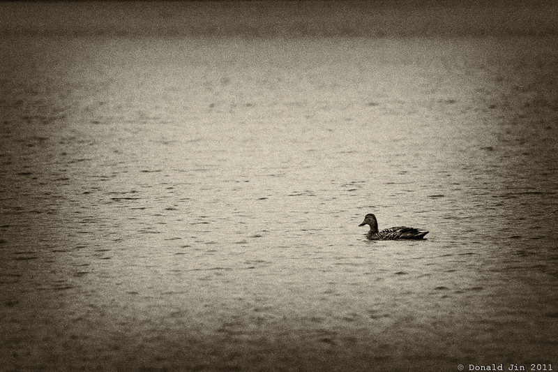 Day 322: Lost<br /> It rained all day today and it was just a dreary day all around.  Driving home, I saw this duck out on the lake all by itself.  Not much of a subject but I thought it captured the mood of the day.