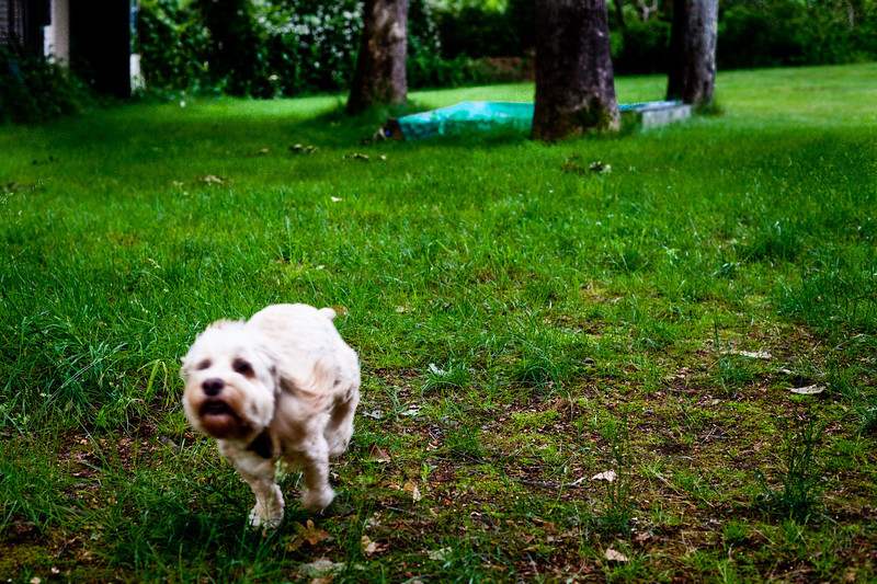 Day 309: Run, Scooter, Run<br /> Scooter runs pretty fast for an old dog with short stubby legs.