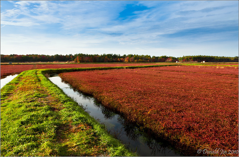 Day 81:  Cranberries  <br /> Many towns around Southeastern Massachusetts are scattered with thousands of acres of cranberry bogs.  Once the berries become ripe and ready for harvesting, these bogs turn into beautiful sites bursting with bright red and other autumn colors.  There is a cranberry bog only a couple of miles down the road from my house.  I decided to go down there today to check it out.  When these berries are ready to be harvested, the farmers will flood this entire area with water so the berries float to the surface.  I hope I didn't miss the harvest.