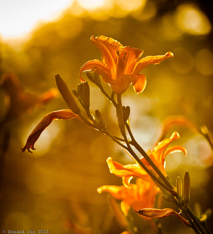 Day 325: Roadside Beauties<br /> I've noticed these Tiger Lilies on the roadside all over my town lately.  I guess it's the time of the year when these flowers are in full bloom   Today, I saw the late afternoon sun hitting a patch of these beauties on a sidewalk.  I pulled over and took this photo shooting directly into the sunlight, flares and all.