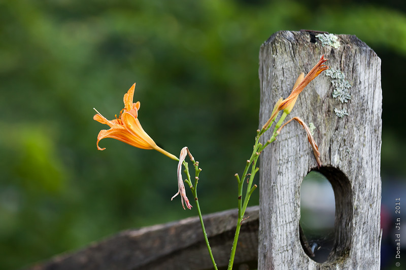 Day 347: Lilies by the Post<br /> Dying lilies by an old fence post created a nice color contrast and texture.