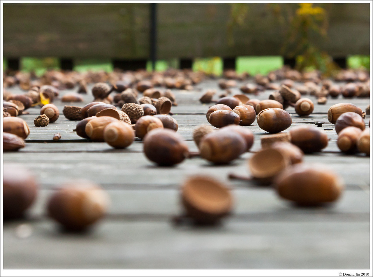 Day 54: The Attack of the Killer Acorns<br /> Is it just my house or are we all getting attacked by these king size acorns?  These are definitely bigger than last year's, and I don't remember my deck being completely covered like this.  The sound of the falling acorns on the deck gets so loud; it wakes me up in the middle of the night.  I think I saw little dent marks on top of my Weber grill.  I hope this is not an indication of the severity of the winter to come.  At least, the squirrels are happy and they'll have plenty to eat over the winter.